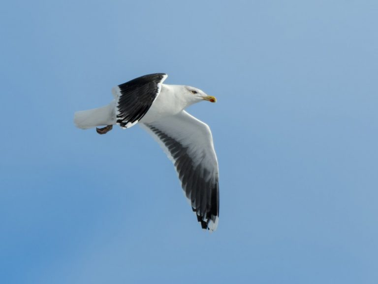 Great Black-backed Gull in Flight | Project TAG | Offshore Wind |ORE Catapult